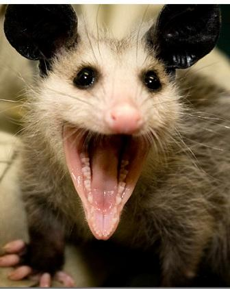 Smiling Possum Possum